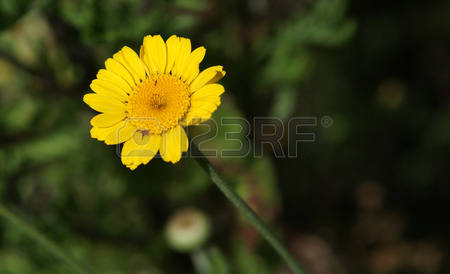 Chamomile Herb Stock Photos Images, Royalty Free Chamomile Herb.
