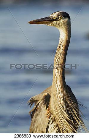 Stock Photo of Great Blue Heron (Ardea herodias); Coteau.