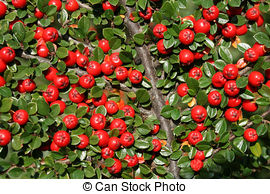 Stock Photos of Cotoneaster foliage and ripe berries isolated.