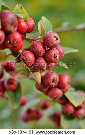 Stock Photography of Cotoneaster Cotoneaster veitchii x8p.