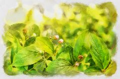 Cotoneaster Stock Illustrations.
