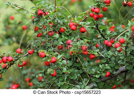 Stock Photo of red berries.