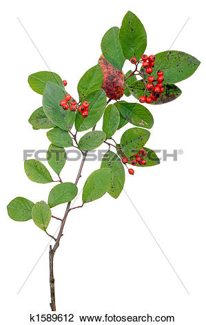 Stock Photo of cotoneaster branch k1589612.