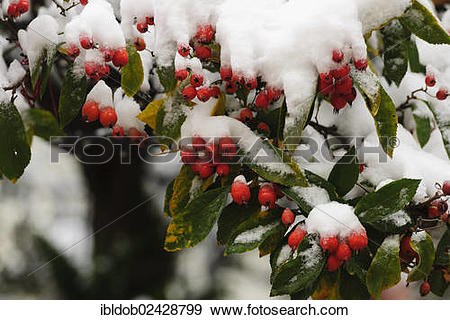 Stock Photograph of Cotoneaster (Cotoneaster) covered with snow.