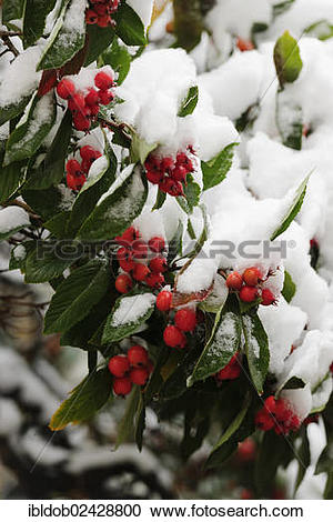 Stock Photography of Cotoneaster (Cotoneaster) covered with snow.