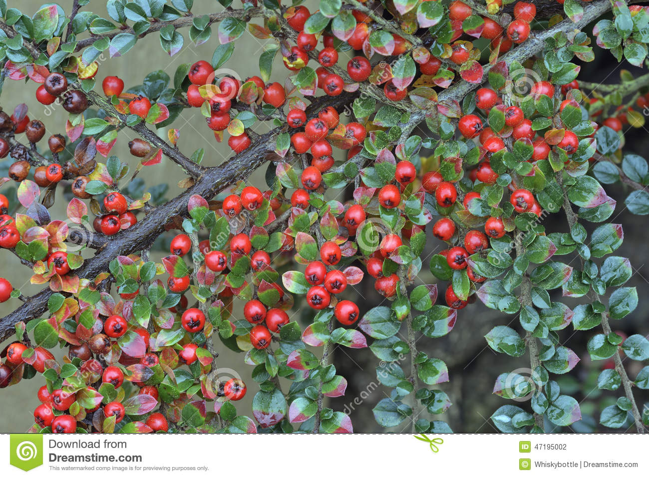 Wall Cotoneaster Stock Photo.