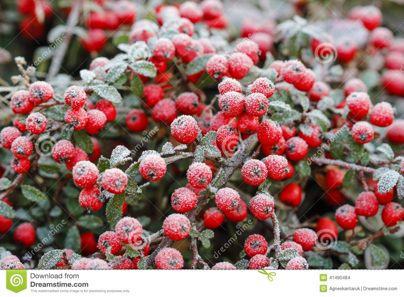 Red Berries (cotoneaster Horizontalis) Under Frost. Stock Photo.