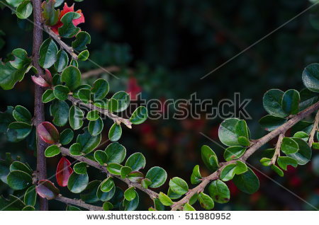 Cotoneaster Bush Stock Photos, Royalty.