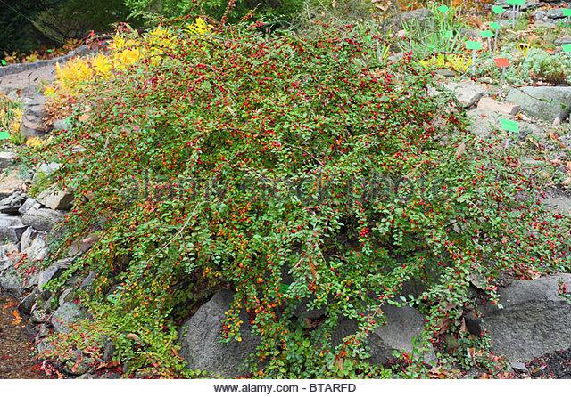 Cotoneaster Divaricatus Stock Photos & Cotoneaster Divaricatus.