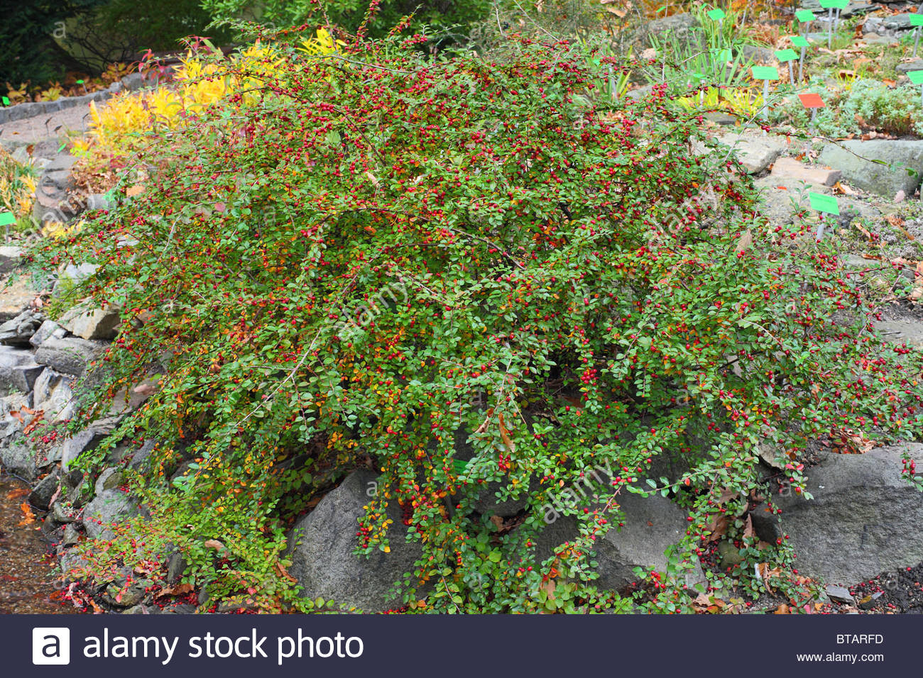 Autumn Leaves Foliage Berries Spreading Cotoneaster Cotoneaster.