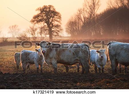 Stock Photograph of Cotswold cattle k17321419.