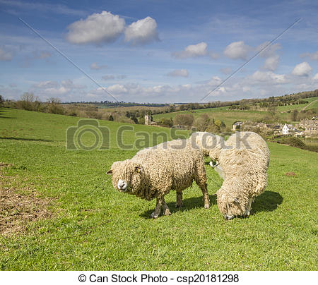 Stock Photographs of Cotswold Lion Sheep.