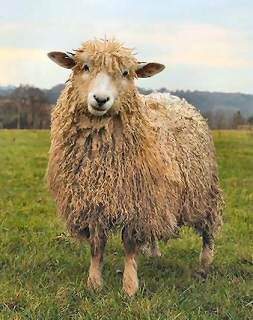 1000+ images about sheep on Pinterest.