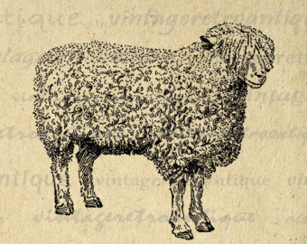 Cotswold sheep.