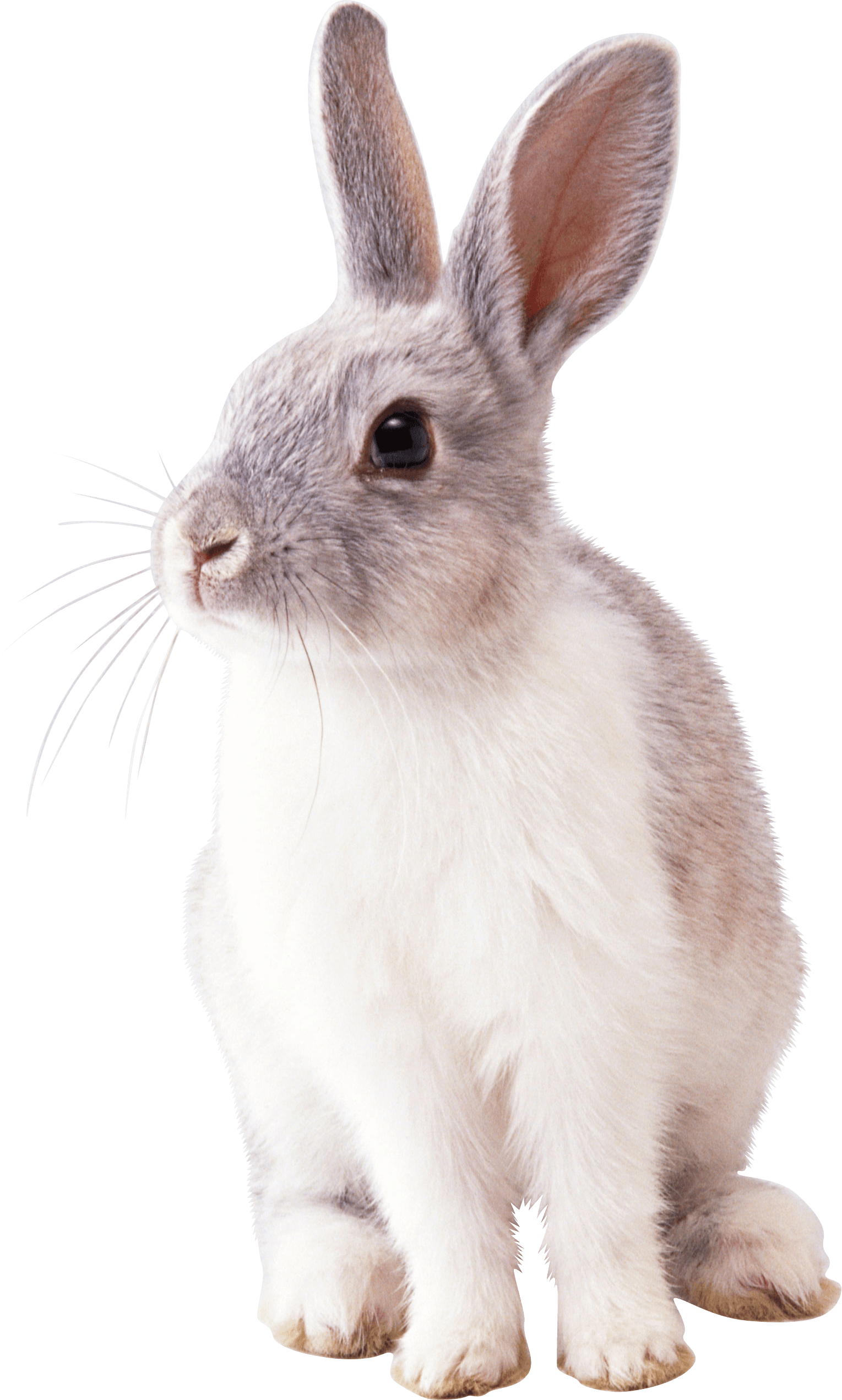 Cottontail rabbit Easter Bunny Clip art.
