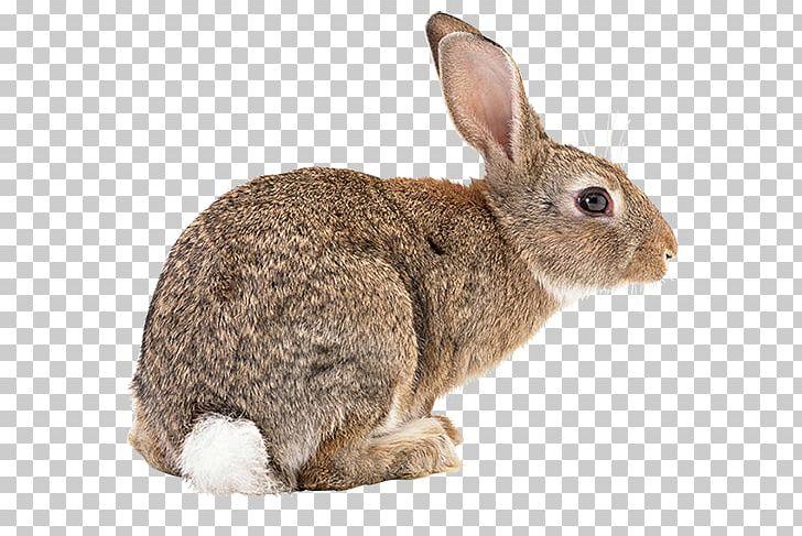 Flemish Giant Rabbit Rex Rabbit Hare PNG, Clipart, Bad, Bad.