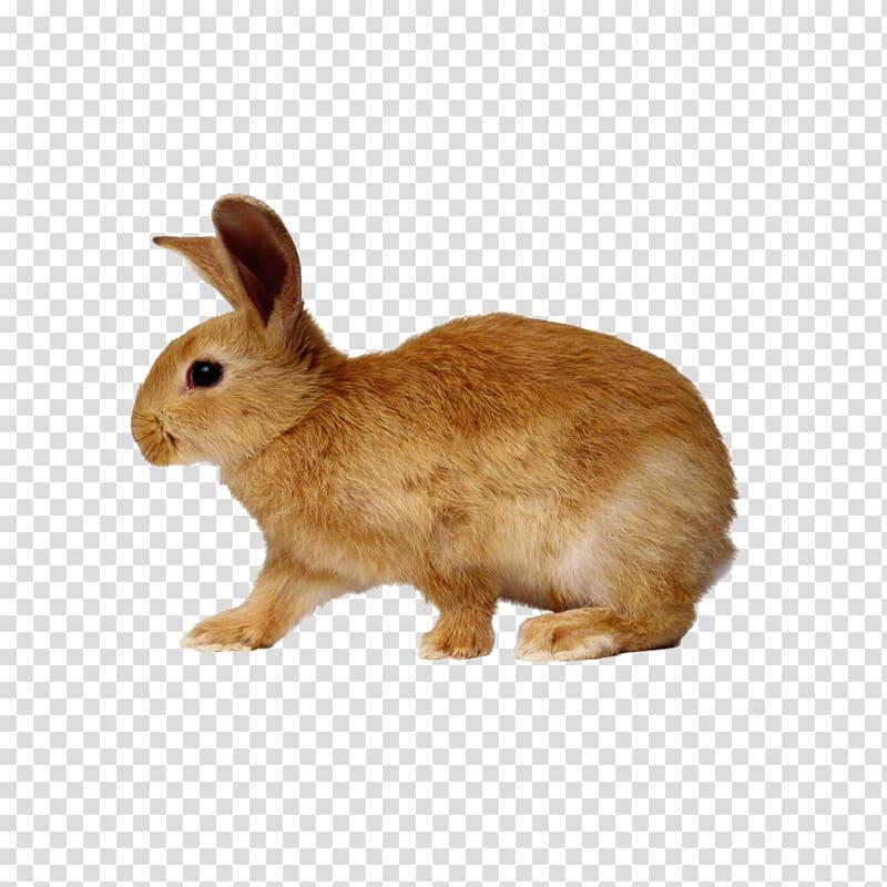 European rabbit Cottontail rabbit Dwarf rabbit, Brown Bunny.