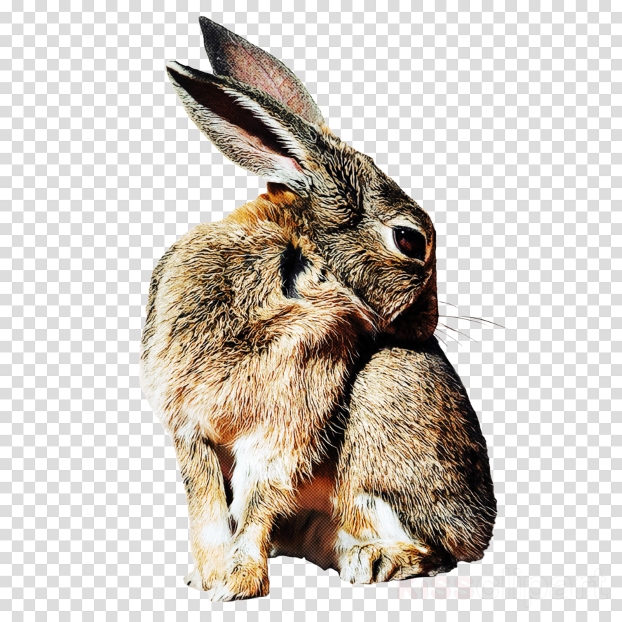 rabbit rabbits and hares mountain cottontail hare audubon\'s.