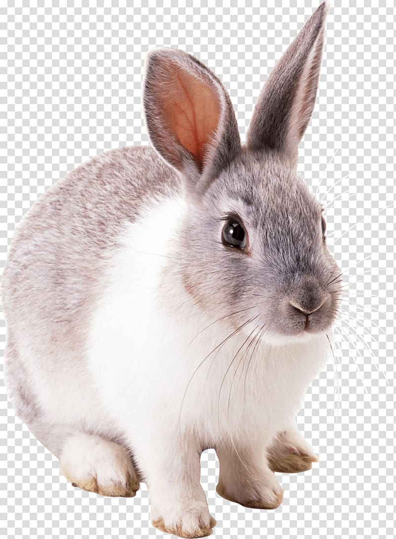 White and gray rabbit, Easter Bunny Hare Cottontail rabbit.