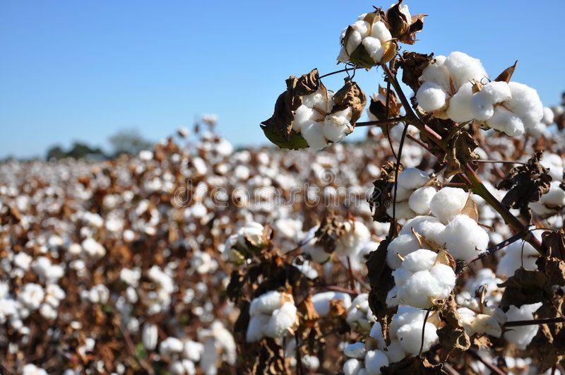 Cotton Field. Cotton in field on farm in Alabama , #AFF.