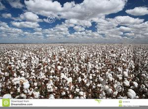 Clipart Cotton Field.