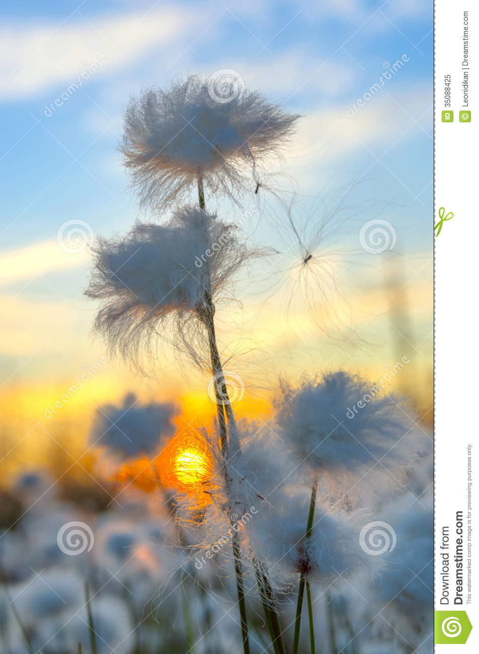 Cotton Grass Royalty Free Stock Photo.