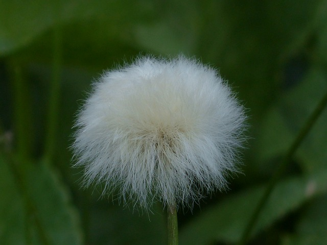 Free photo: Scheuchzers Cottongrass.