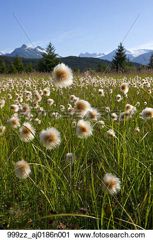 Stock Photography of Alaska Cotton grass in the Mendenhall.