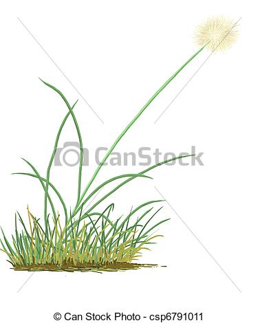 Clipart of Cottongrass (Eriophorum sp.) plant csp6791011.