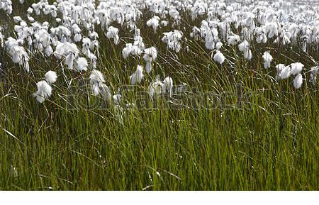 Stock Photo of Arctic cotton.