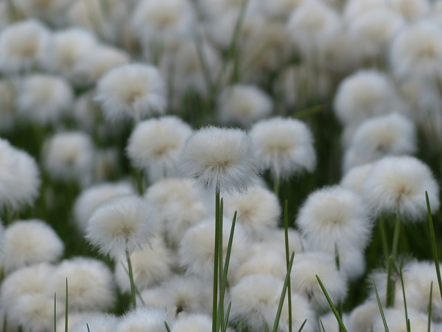 Free pictures COTTONGRASS.