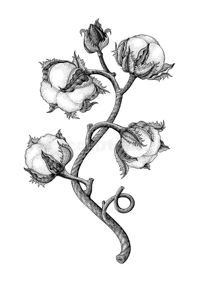 Cotton Plant Stock Illustrations.