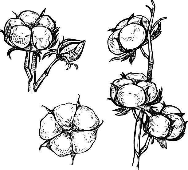 Best Cotton Plant Illustrations, Royalty.