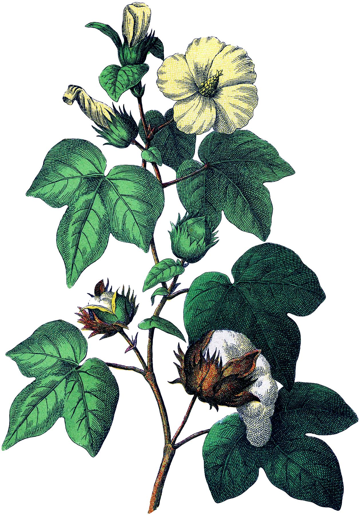 Botanical Cotton Plant Image!.