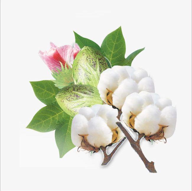 Cotton PNG, Clipart, Cotton, Cotton Clipart, Cotton Open, Flower.