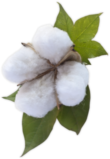 Cotton PNG images free download.