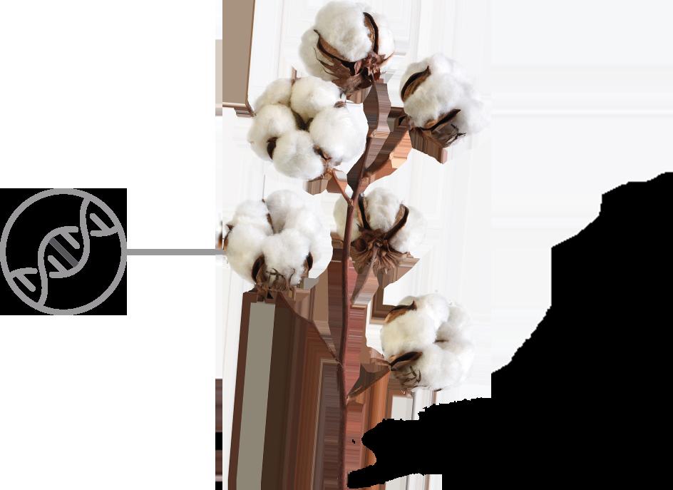 Cotton PNG.