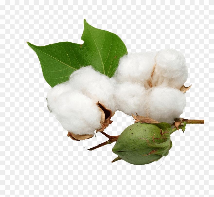 Cotton & Transparent.