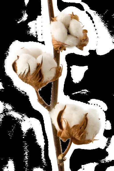 Cotton PNG Transparent Images.