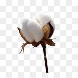 Cotton Png & Free Cotton.png Transparent Images #10106.