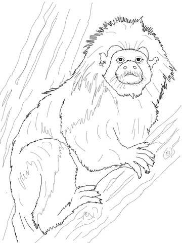Cotton Top Tamarin coloring page.