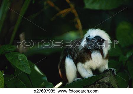 Stock Image of Cotton top tamarin (Saguinus oedipus) standing.