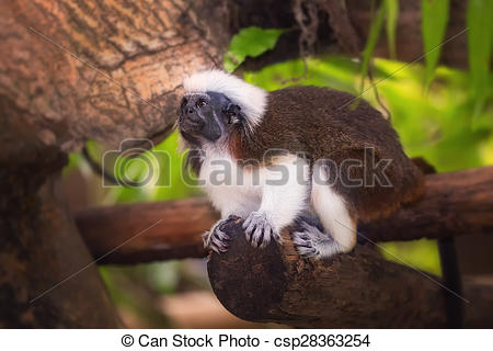 Stock Images of Tamarin cotton top monkey sitting in a tree.