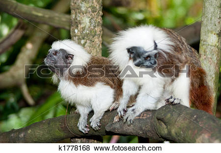 Pictures of Cotton Top Tamarin k1778168.