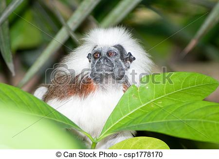 Stock Photography of Cotton Top Tamarin in green tropical forest.