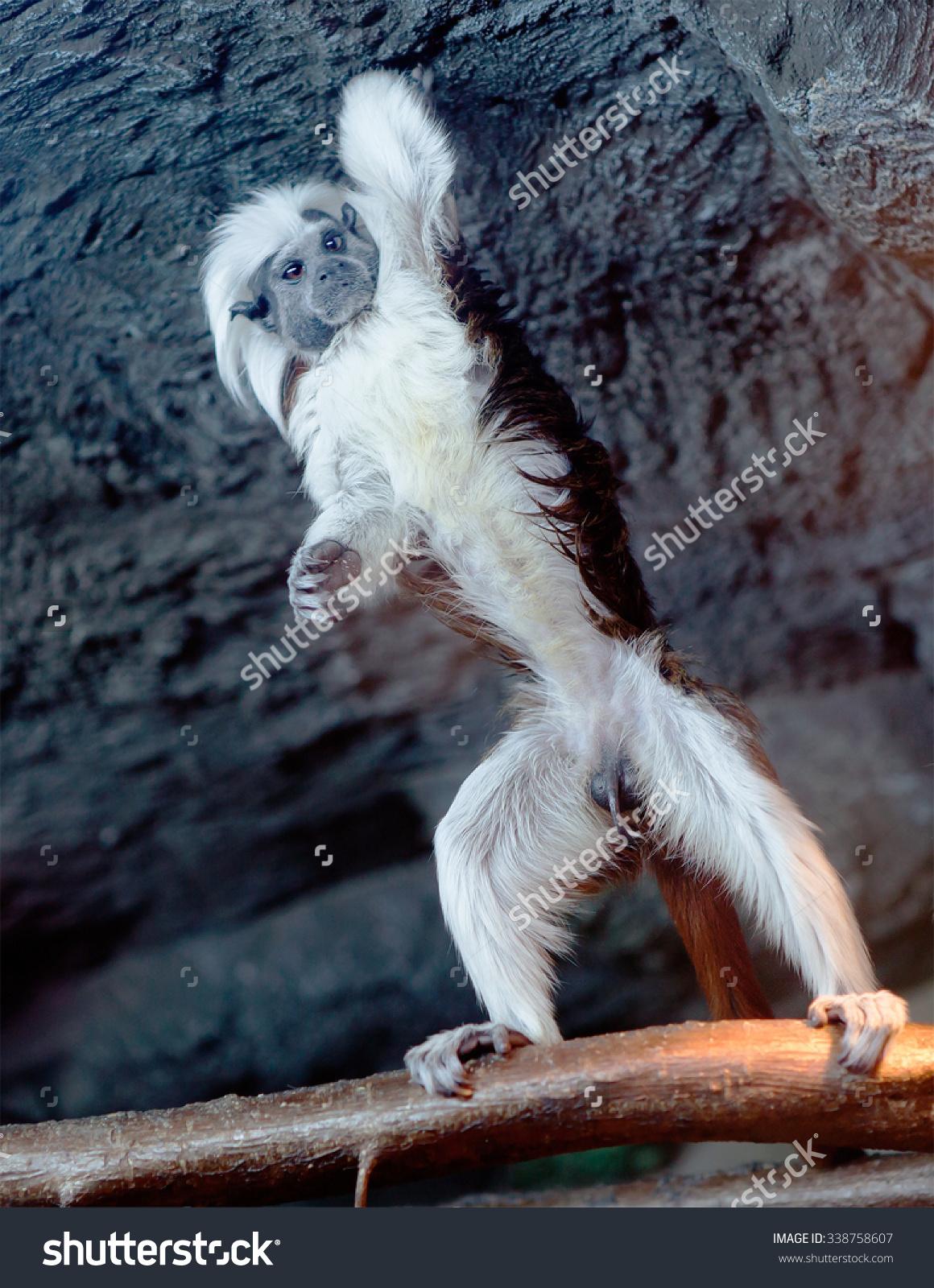 Monkey Cottontop Tamarins oedipus Tamarin Oedipus Marmoset Stock.