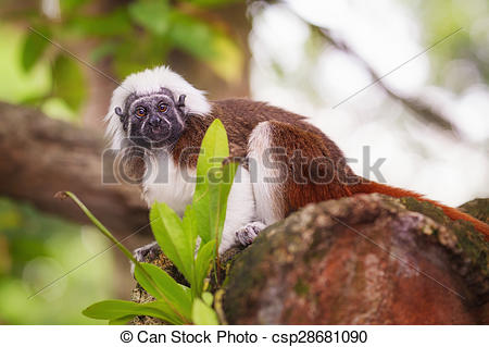 Stock Photographs of Tamarin cotton top monkey sitting in a tree.