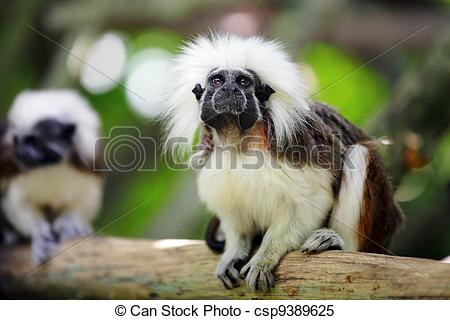 Stock Images of cotton top monkey csp9389625.