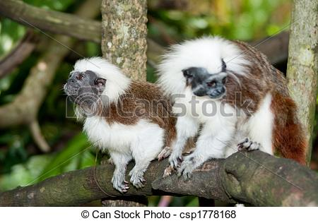Pictures of Cotton Top Tamarin in green tropical forest csp1778168.