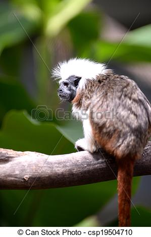 Stock Photography of Cotton Top Tamarin.
